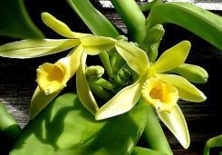 The Vanilla orchid.